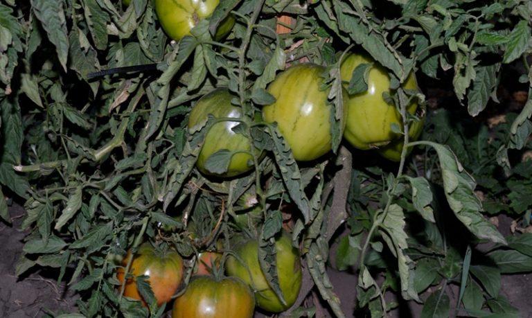 Описываемый сорт помидоров принадлежит к высокорослым видам, у которых стебли довольно тонкие, а плоды крупные