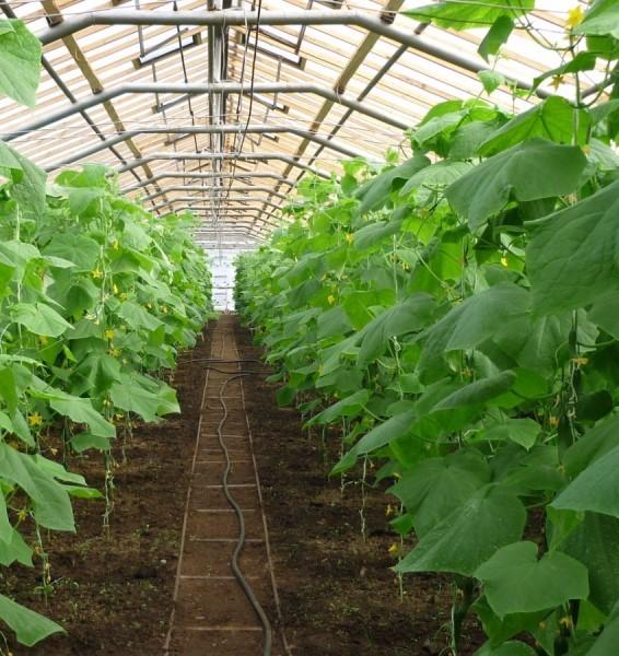 Если правильно провести пасынкование огурцов в теплице, основная ветвь будет получать больше питательных веществ