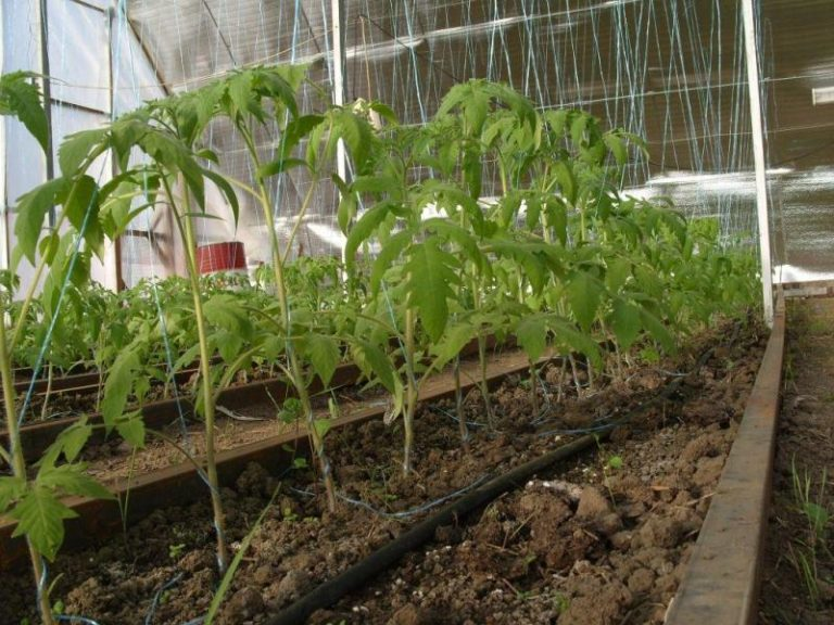 Схема посадки помидоров в теплице