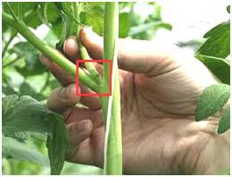 Проводят процедуру пасынкования помидоров в открытом грунте и в теплице