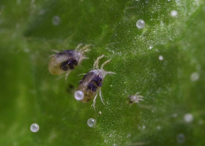 Клещи этого вида настолько маленькие, что заметить их невооруженным взглядом невозможно