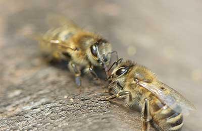 Пчеловодство - это достаточно сложный процесс, который не терпит ошибок