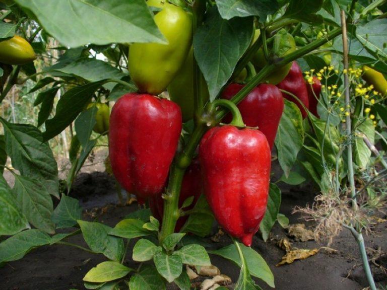 Одним из наиболее прихотливых растений, приносящих урожай, безусловно, является сладкий перец