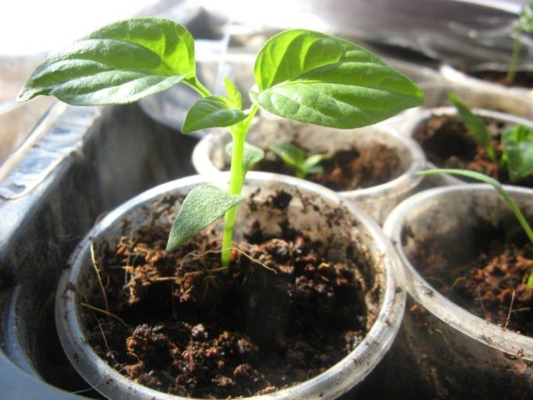 Процесс выращивания растения начинается с посадки рассады