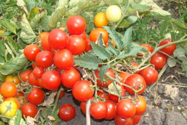 Детерминантный карликовый томат Пиноккио вырастает не более 25-30 см в высоту