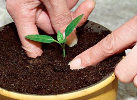 Любой опытный садовник или дачник точно знает, когда пикировать помидоры