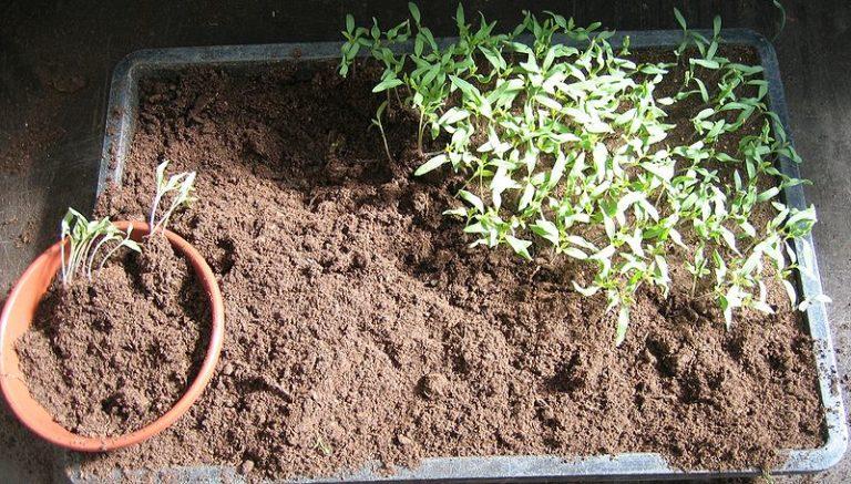 Пикировка помидоров представляет собой пересадку, перевалку молодых растений из небольшой емкости, где они были выращены из семян, в больший горшок или контейнер