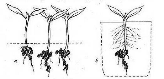 Пикировать томаты необходимо с целью обеспечения росткам достаточной площади для питания