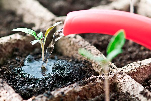 При поливе возможно недостаточное количество поставляемой влаги или же, наоборот, чрезмерный полив