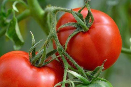 Многие дачники уверены в том, что если использовать для подкормки какое-либо проверенное народное средство, помидоров вырастет много