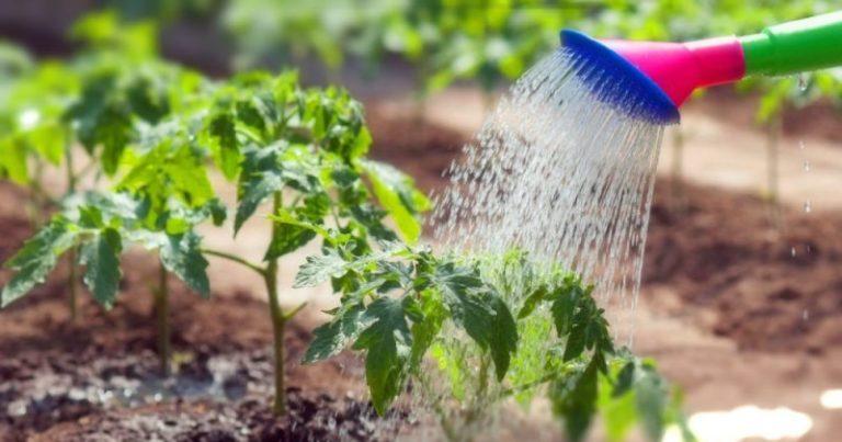 Только томаты с плотными листьями без пятен и крепкими стеблями способны приносить богатый урожай