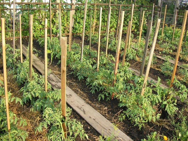 Подвязать помидоры в теплице можно с помощью установки кольев