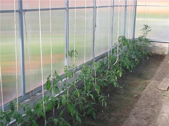 Потратив немного времени и сил в самом начале процесса выращивания, можно добиться хороших результатов к концу сезона
