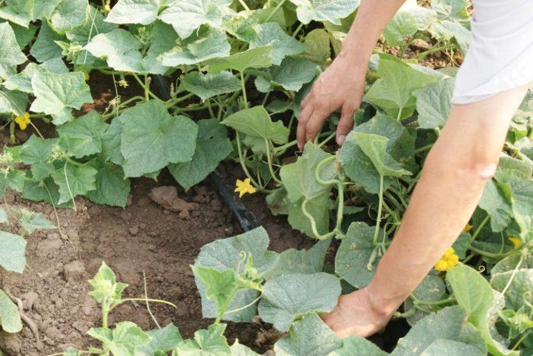 Обильного орошения кусты требуют сразу после цветения