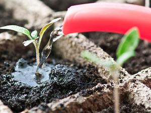 Чтобы регулярно получать огромный урожай этой культуры, необходимо научиться правильно поливать и удобрять ее