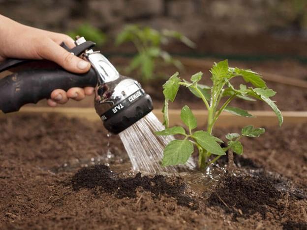 Именно правильная частота полива, оптимальные температурные условия, сбалансированные удобрения позволят наслаждаться вкусными и полезными томатами