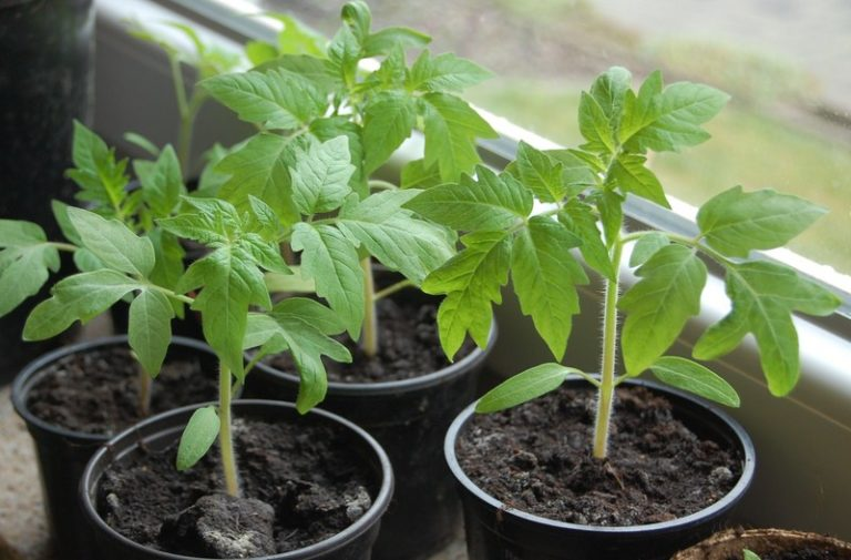 Как только томаты подрастут, их необходимо пикировать