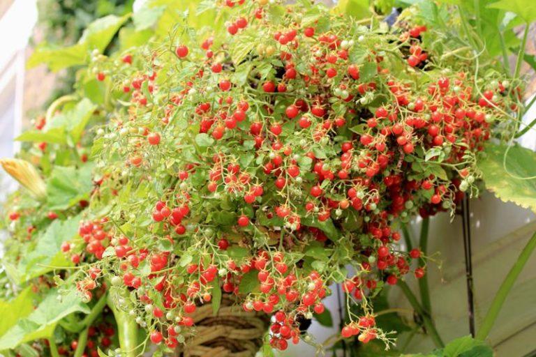 Выращивание томатов пошагово