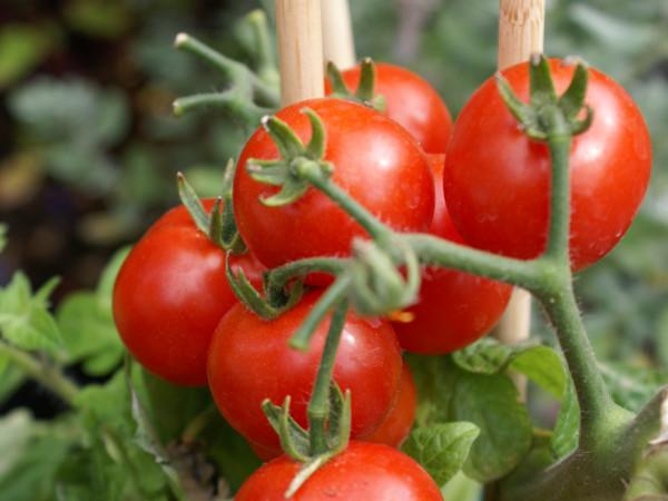 Главное — правильный уход с любовью, только в этом случае вырастут самые красивые и вкусные томаты