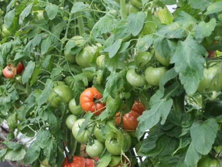 Вопросом о том, что делать, если помидоры жируют, часто задаются неопытные овощеводы