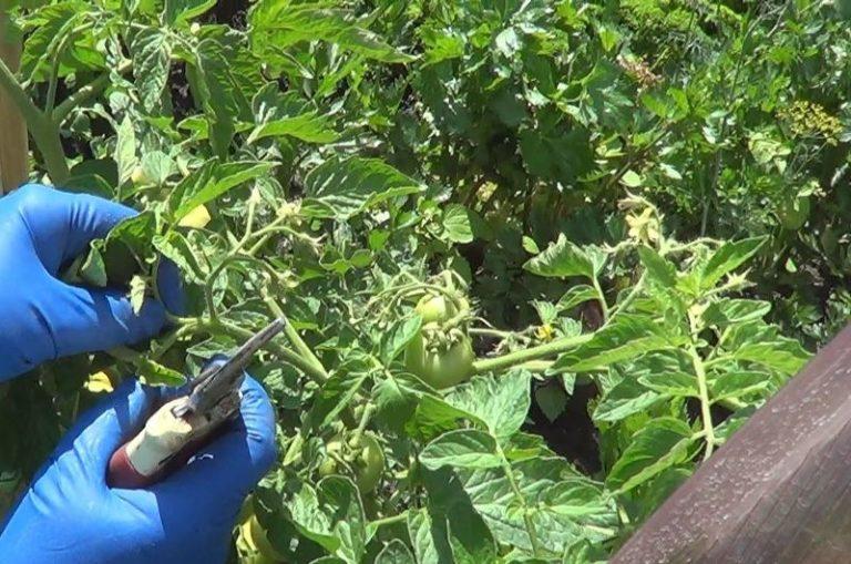 Стоит сказать, что к слишком активному развитию лишней зеленой массы склонны индетерминантные сорта помидоров