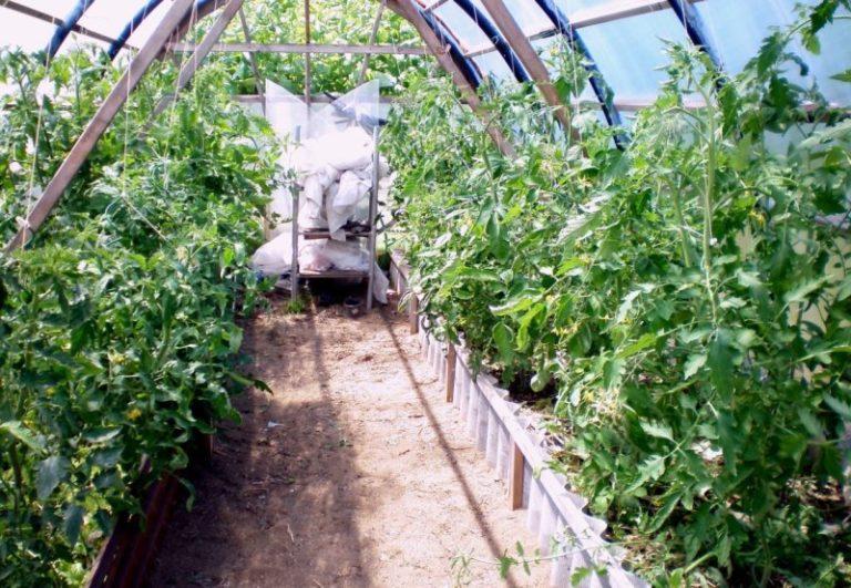 В период жирования помидоров внесение содержащих азот удобрений нужно полностью прекратить, зато им будут полезны составы, содержащие калий и магний