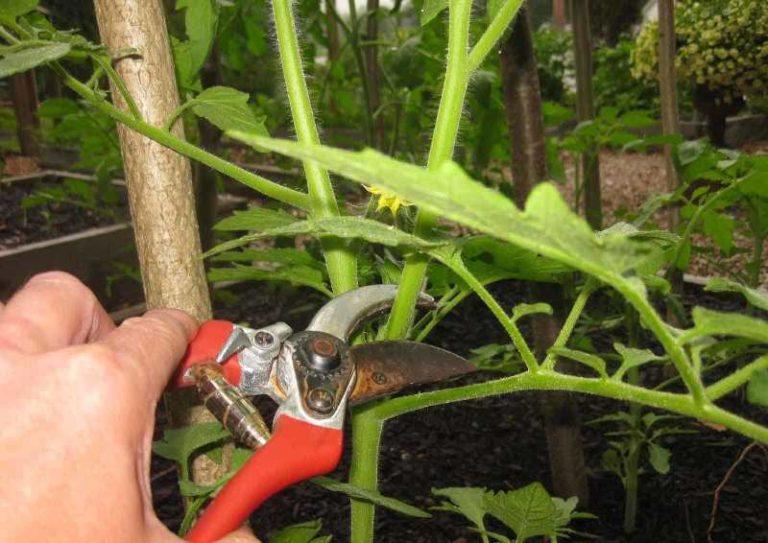 Что нужно делать если помидоры жируют