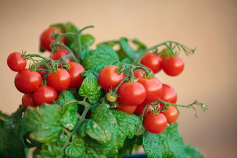 Лучше всего для выращивания на подоконнике подойдут низко- и среднерослые сорта помидоров черри