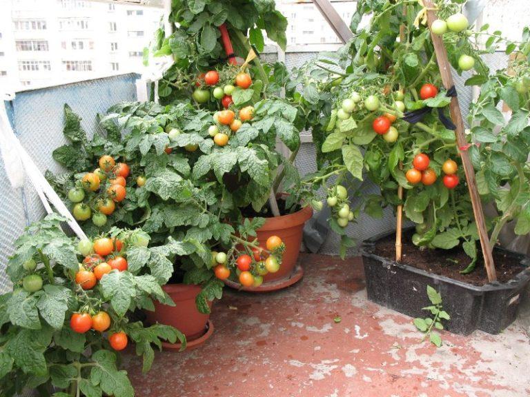 В первую очередь следует помнить, что пространство для роста корневой системы томатов в горшке достаточно ограничено, поэтому для нормального развития и плодоношения растение обязательно необходимо подкармливать удобрениями