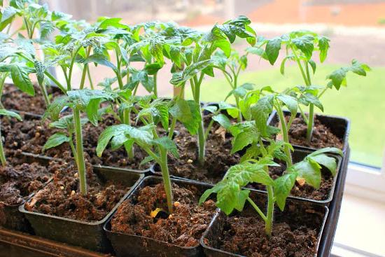 Лучший рост у томатов наблюдается при нагревании воздуха днем до 25 °C и охлаждении в ночное время не ниже 16 °C