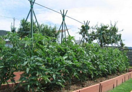 Собрать удобные шпалеры для помидор своими руками можно не только в теплице, но и на грядке в огороде