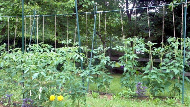 Применение такой опоры подходит не только для высокорослых сортов томатов