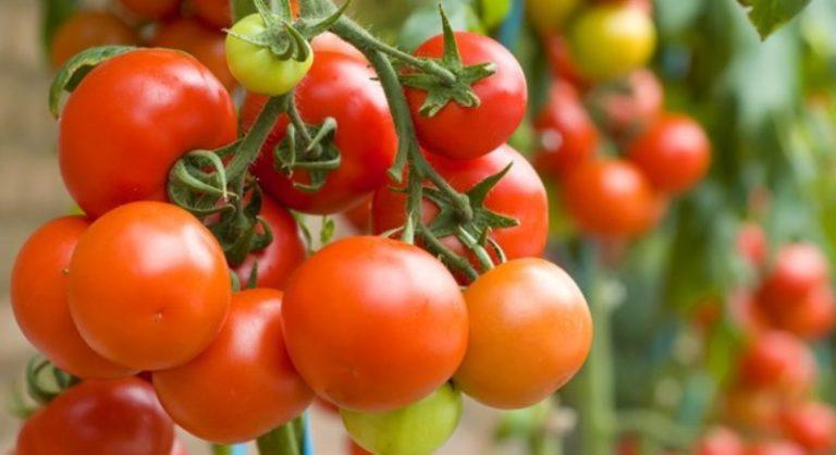 Не стоит гнаться за особо крупноплодными сортами. В специфических погодных условиях такие томаты не успевают набрать вес, получаются мелкими и не слишком вкусными