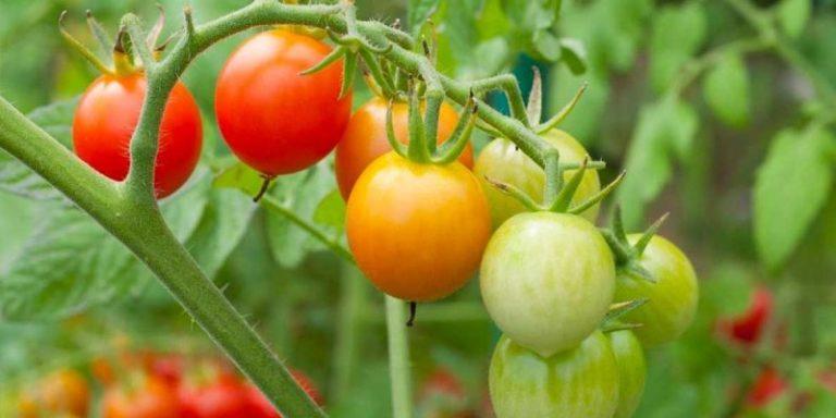 Для выращивания на грядках подходят не все сорта томатов, особо теплолюбивые могут резко снизить урожайность