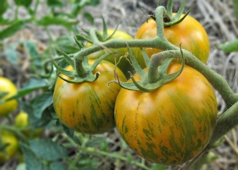 Получить хороший урожай томатов в неблагоприятных погодных условиях поможет правильный выбор сортов, разработанных специально для региона
