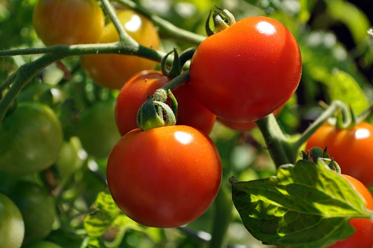 Если основой целью выращивания томатов в теплице является консервация и изготовления всевозможных заготовок на зиму, лучше всего выбирать сорта томатов, плоды которых достигают размеров от 60 до 150 г