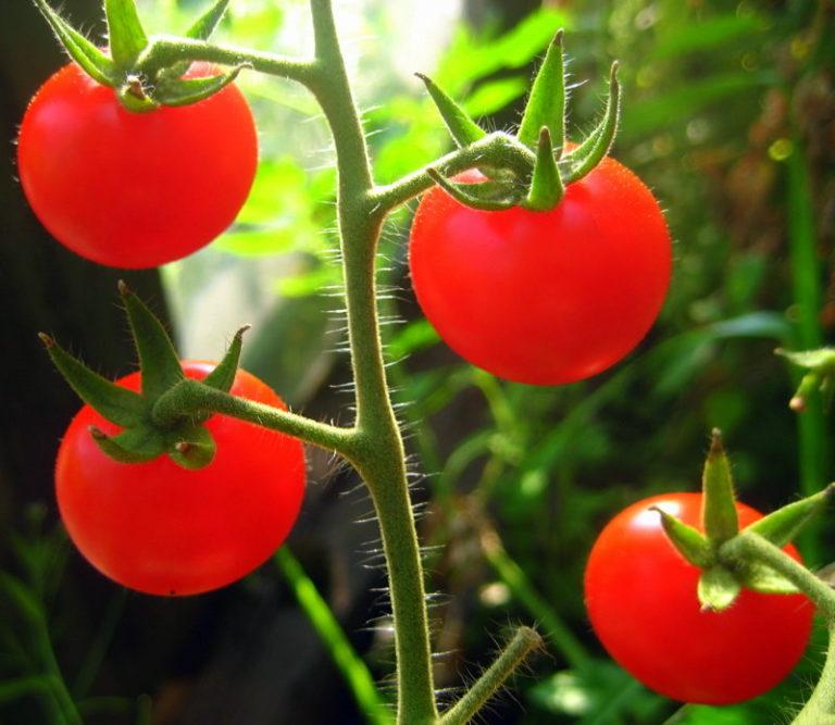 Рассматривая лучшие сорта томатов для теплиц, просто невозможно не упомянуть всеми любимые помидоры черри