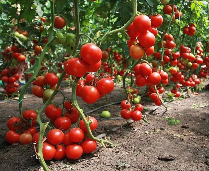 Любому низкорослому томату крайне тяжело конкурировать с высокорослыми в плане урожайности