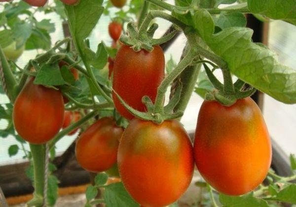 Какие помидоры наиболее подходящие для выращивания на Урале в теплице ?