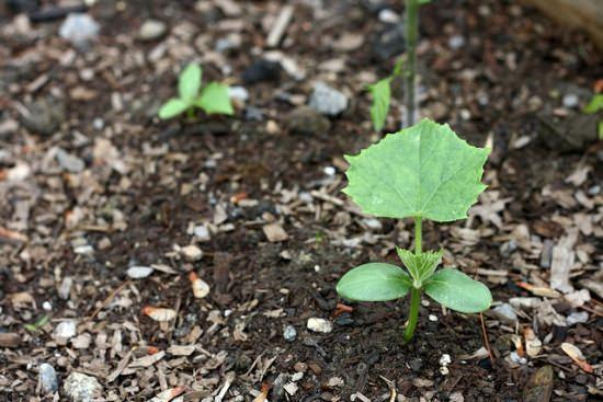 Почва для огурцов должна быть плодородной