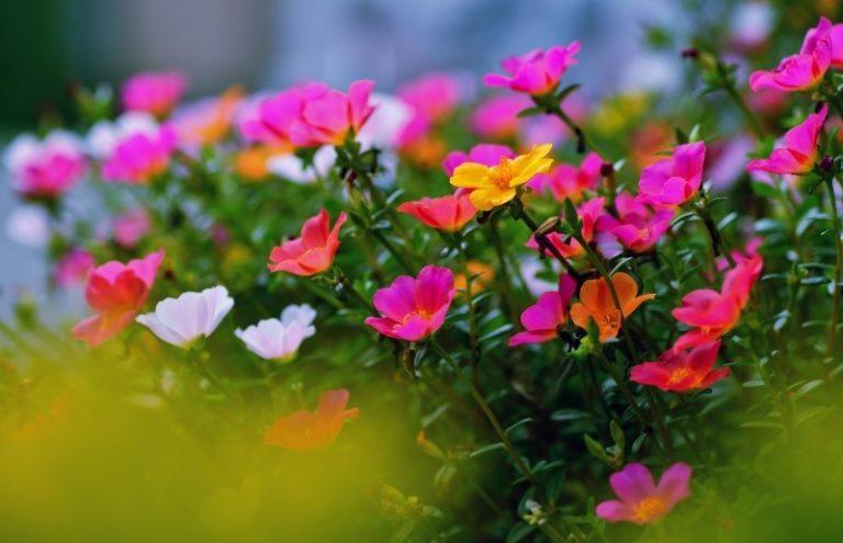 Полторак цветок