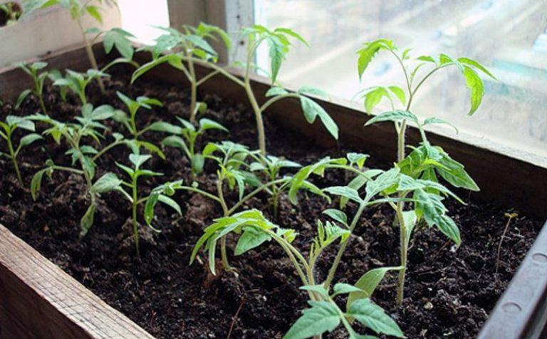 Рассада помидор хорошо растет в теплом и достаточно светлом помещении