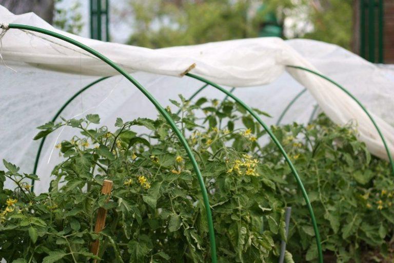 Выращивание помидоров в парнике или теплице способно обеспечить большой урожай томатов, если создать овощам благоприятные условия и обеспечить хороший уход