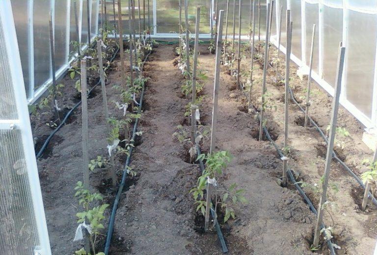 При какой оптимальной температуре высаживают помидоры в теплицу