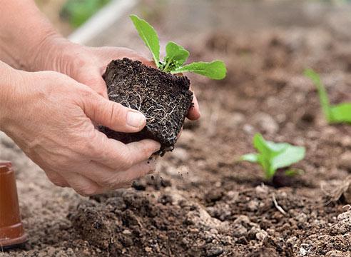 В теплице рядом с огурцами специалисты настоятельно рекомендуют выращивать листовую репу, горчицу и пекинскую капусту