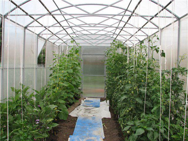 Можно выращивать в теплице вместе с огурцами перец и баклажаны