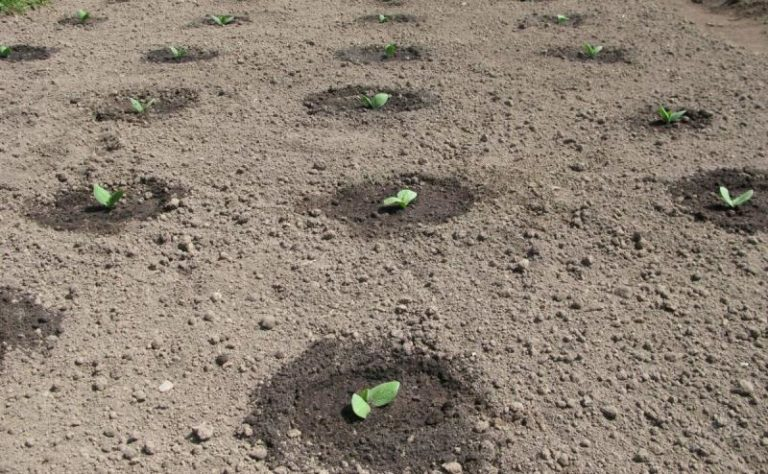 Расстояние между растениями должно быть около 30 см. А вот расстояние между рядами следует выдерживать на уровне примерно 1-1,25 м