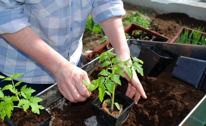 Зная особенности выращивания томатов в теплице, можно избежать серьезных ошибок