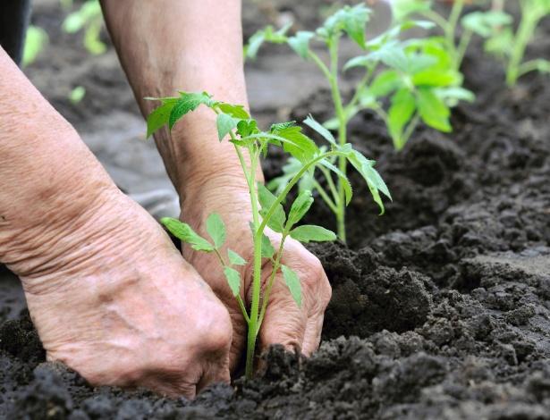 Технология выращивания томатов в теплице во многом различается при выборе тех или иных сортов