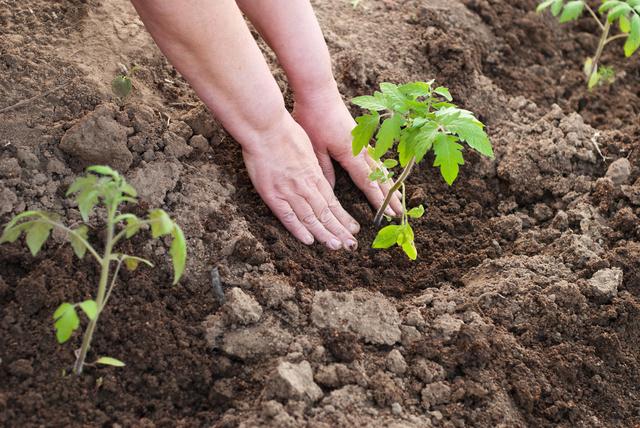Перед тем как сажать помидоры в теплице, следует обратить внимание на возможность выращивания того или иного сорта в отдельно взятом регионе